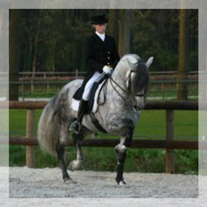 cheval espagnol haute ecole a vendre