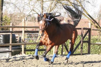 Cheval de Concours «Belgique»
