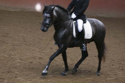 MCI jeune chevaux «belgique»