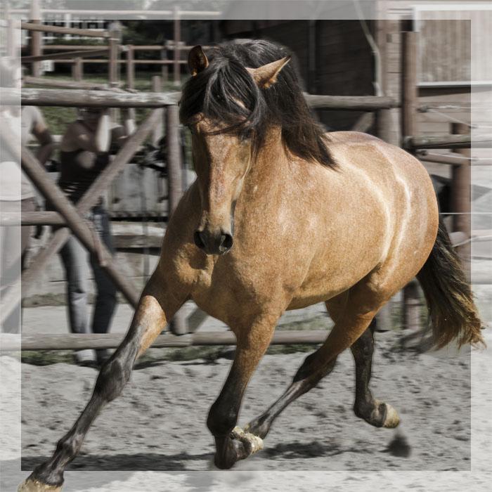 cheval espagnol noir a vendre belgique