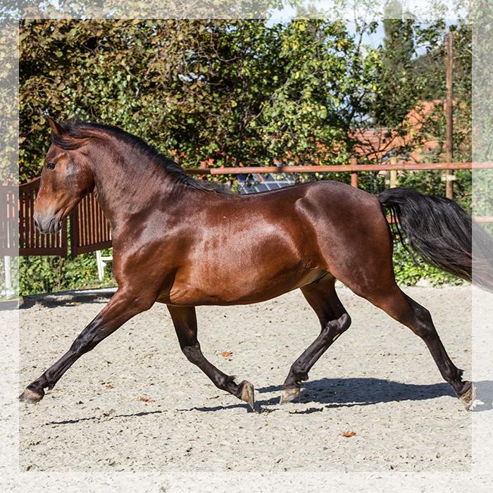 cheval espagnol bai a vendre